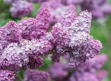 Kwiatonośna gałąź bez Zdjęcie Stock