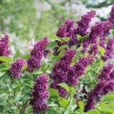 Kwiatonośna gałąź bez Fotografia Stock