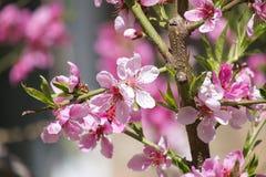 Kwiatonośna gałąź brzoskwini drzewo Zdjęcia Royalty Free