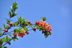 Kwiatonośna gałąź granatowiec obrazy stock