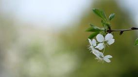Kwiatonośna gałąź jabłoń na zmierzchu tle zdjęcie wideo
