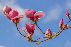 Kwiatonośna gałąź magnoliowa spodeczek magnolia Soulan lub magnolia Fotografia Stock