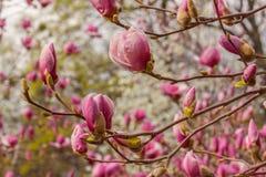 Kwiatonośna gałąź magnoliowa spodeczek magnolia Soulan lub magnolia Obrazy Royalty Free
