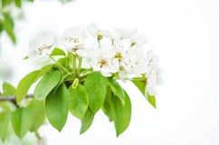 Kwiatonośna gałąź owocowy drzewo Zdjęcie Stock