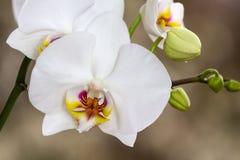 Kwiatonośna gałąź Storczykowy phalaenopsis zdjęcia royalty free