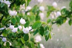 Kwiatonośna gałąź w deszczu Obrazy Stock