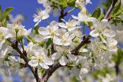 Kwiatonośna gałąź wiśnia Zdjęcia Stock