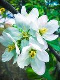 Kwiatonośna gałąź z akacjowymi kwiatami zdjęcie royalty free