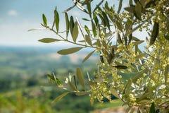 Kwiatonośna gałązka oliwna w Tuscany fotografia royalty free
