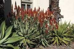 Kwiatonośna gorącego grzebaka agawa przeciw ścianie dom zdjęcia stock