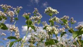 Kwiatonośna gryka w lecie zbiory wideo