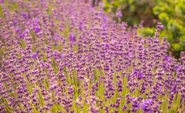 Kwiatonośna halna lawenda Fragrant purpury pola kwiaty obrazy stock