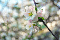 Kwiatonośna jabłoń Zdjęcie Royalty Free