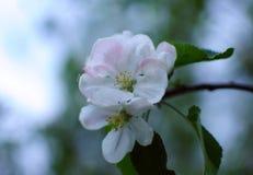 Kwiatonośna jabłoń Zdjęcie Stock