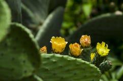 Kwiatonośna kłująca bonkreta Obrazy Stock