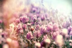Kwiatonośna koniczyna w łące, kwitnie czerwoną koniczynę Obraz Royalty Free