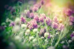 Kwiatonośna koniczyna w łące, piękna koniczyna zaświecał światłem słonecznym Obrazy Royalty Free