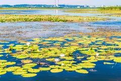 Kwiatonośna leluja Kwitnąć wodna leluja na Zaporoskiej rzece, Kijów, Ukraina Fotografia Royalty Free