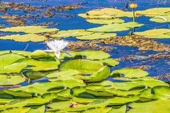 Kwiatonośna leluja Kwitnąć wodna leluja na Zaporoskiej rzece, Kijów, Ukraina Zdjęcia Stock