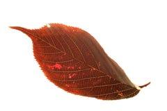kwiatonośna liść śliwki Zdjęcia Stock