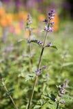 kwiatonośna miętowy obrazy stock
