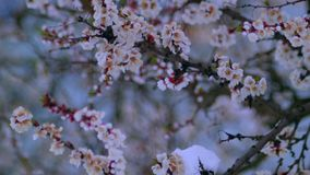 Kwiatonośna morela w śniegu w Kwietniu zdjęcie wideo