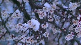 Kwiatonośna morela w śniegu w Kwietniu zbiory