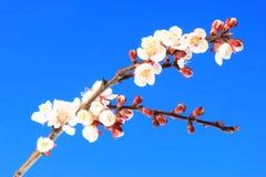 Kwiatonośna moreli gałąź Zdjęcie Stock