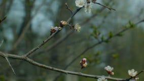 Kwiatonośna moreli gałąź zbiory