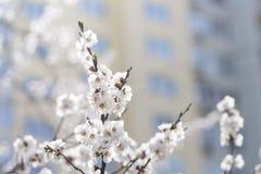 Kwiatonośna moreli gałąź przeciw tłu budynek fotografia stock