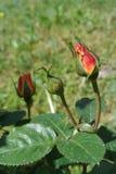 Kwiatonośna Pączkowa pomarańcze róża Obrazy Stock