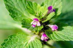 Kwiatonośna pokrzywa w jesieni, makro- strzał Zdjęcia Stock