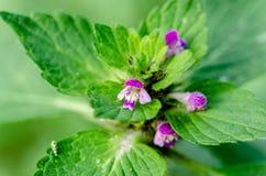 Kwiatonośna pokrzywa w jesieni, makro- strzał Obraz Stock
