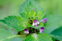 Kwiatonośna pokrzywa w jesieni, makro- strzał Obraz Royalty Free
