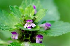 Kwiatonośna pokrzywa w jesieni, makro- strzał Obrazy Royalty Free