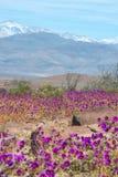 Kwiatonośna pustynia w Chilijskiej Atacama pustyni zdjęcia stock