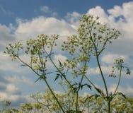 Kwiatonośna roślina Zdjęcie Royalty Free