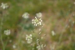 Kwiatonośna rośliny damy kiesa na zamazanym tle zdjęcia royalty free