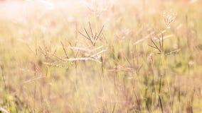 kwiatonośna trawa Obrazy Stock