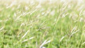 Kwiatonośna trawa na podczas zmierzchu Fotografia Stock