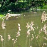 Kwiatonośna trawa z rzeką, krzaki i drzewa w tle, niska głębia pole, celowo zamazująca Obraz Stock