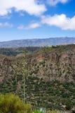 Kwiatonośna wiek roślina, Agavoideae, przy krawędzią Bandama krater, Gran Canaria Obraz Royalty Free