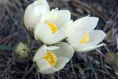 Kwiatonośne śnieżyczki w drewnach Obraz Royalty Free