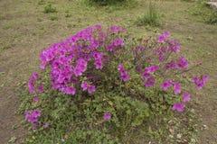 Kwiatonośne azalie zdjęcie royalty free
