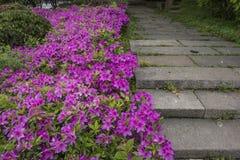 Kwiatonośne azalie zdjęcia royalty free