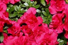 Kwiatonośne azalie obraz stock