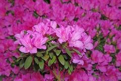 Kwiatonośne azalie obrazy royalty free