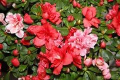Kwiatonośne azalie zdjęcie stock