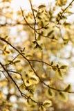 Kwiatonośne bazie na drzewie obrazy royalty free