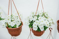 Kwiatonośne białe petunie w pomarańczowych garnkach, wieszających na arkanie w kwiatu rynku Zdjęcia Stock